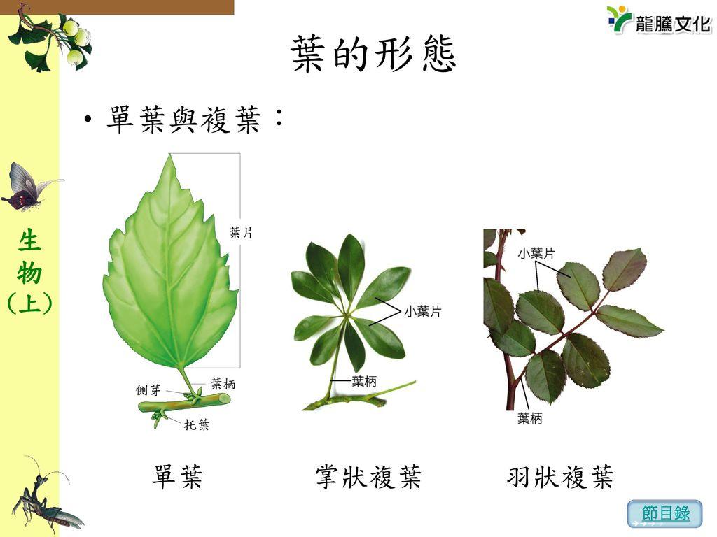葉的形態 單葉與複葉: 單葉 掌狀複葉 羽狀複葉