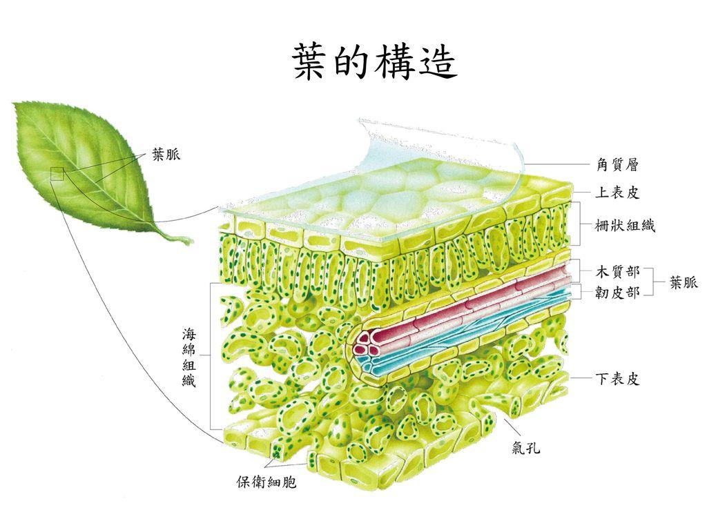 被子植物的构造 营养器官 根茎叶 生殖器官 花 果实 种子.