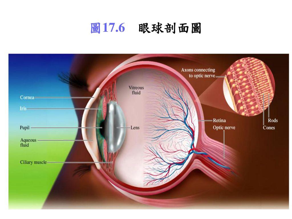 圖17.6 眼球剖面圖