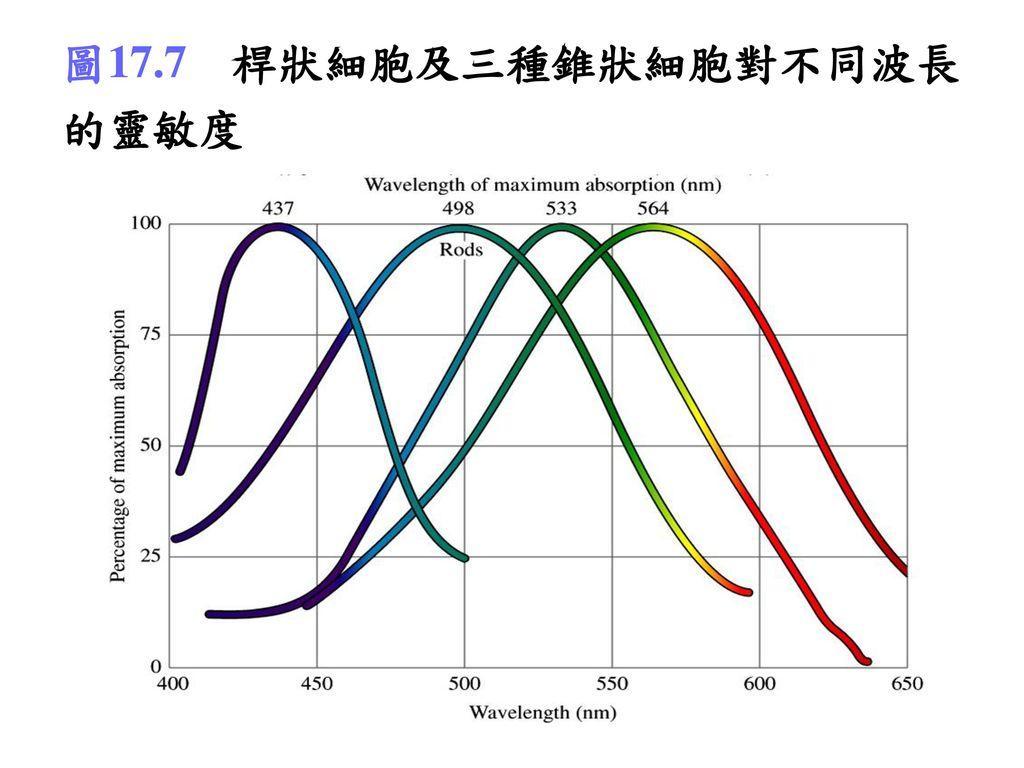 圖17.7 桿狀細胞及三種錐狀細胞對不同波長的靈敏度