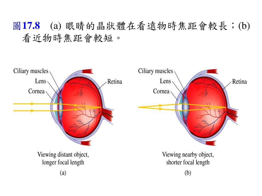圖17.8 (a) 眼睛的晶狀體在看遠物時焦距會較長;(b) 看近物時焦距會較短。