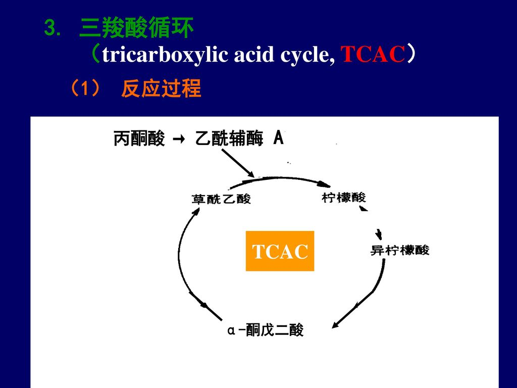 3. 三羧酸循环 (tricarboxylic acid cycle, TCAC)