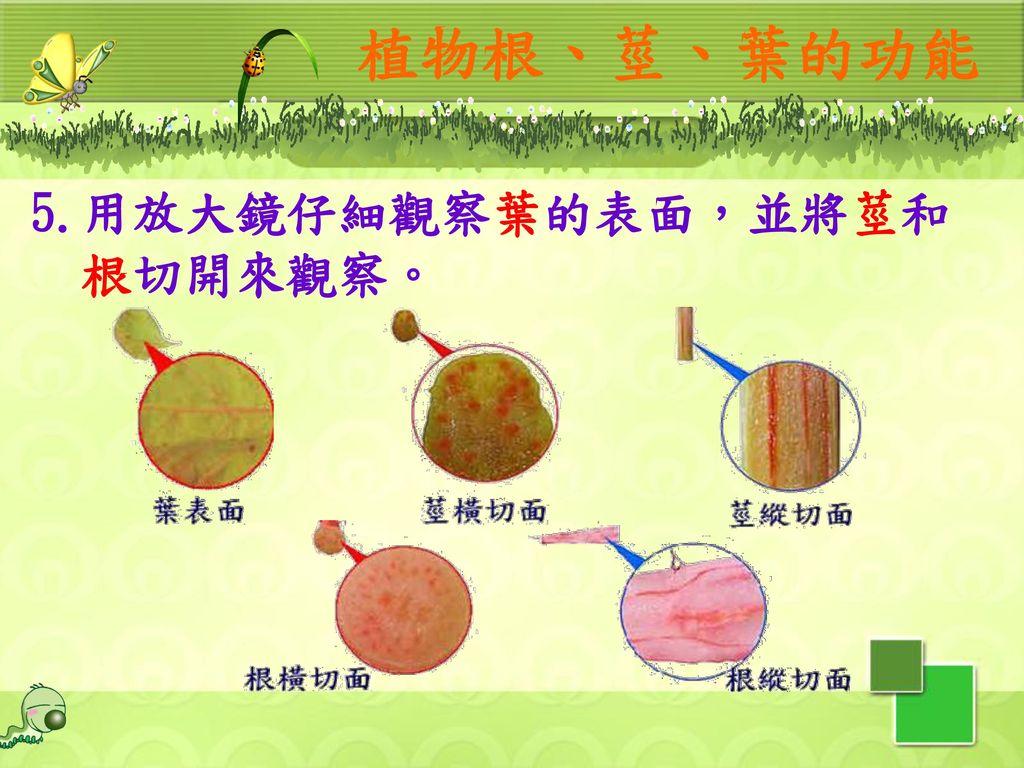 植物根、莖、葉的功能 5.用放大鏡仔細觀察葉的表面,並將莖和根切開來觀察。 12