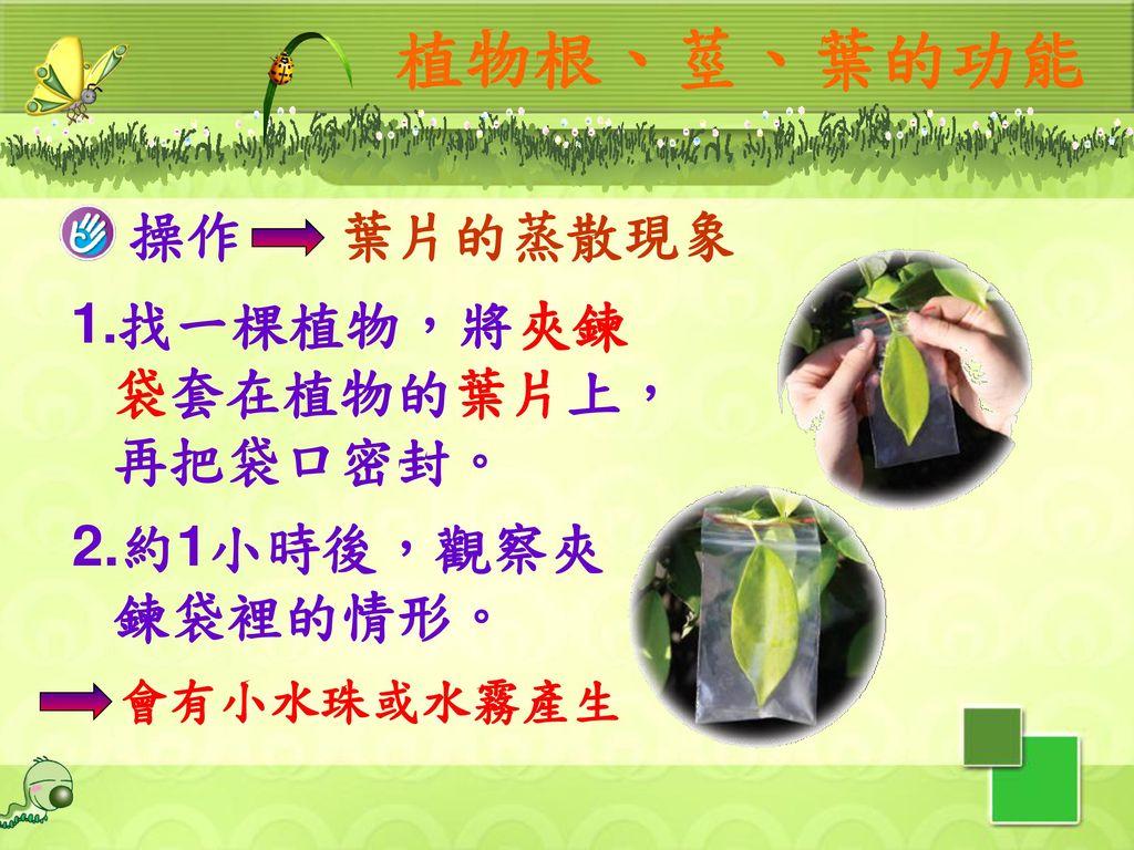 植物根、莖、葉的功能 操作 葉片的蒸散現象 1.找一棵植物,將夾鍊袋套在植物的葉片上,再把袋口密封。 2.約1小時後,觀察夾鍊袋裡的情形。