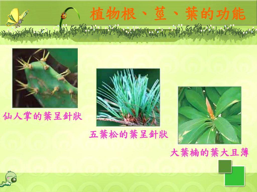 植物根、莖、葉的功能 仙人掌的葉呈針狀 五葉松的葉呈針狀 大葉楠的葉大且薄 18