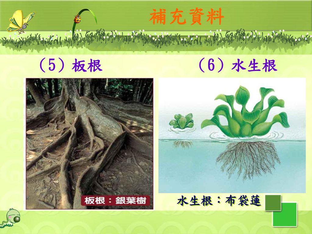 補充資料 (5)板根 (6)水生根 水生根:布袋蓮 24