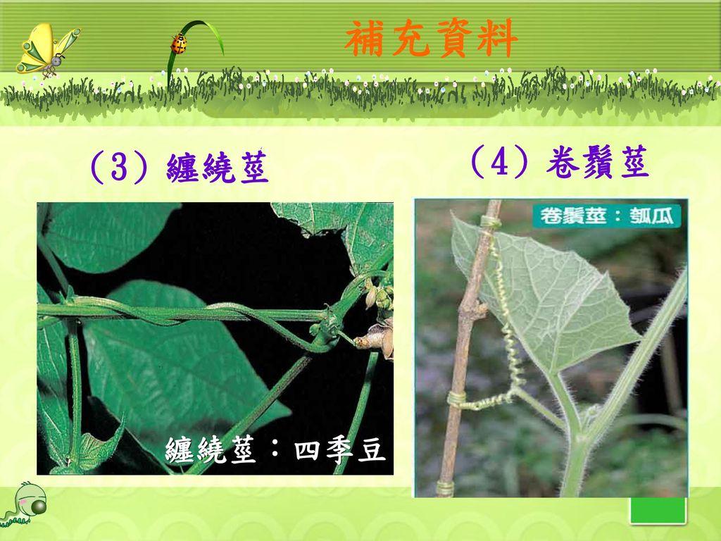 補充資料 (4)卷鬚莖 (3)纏繞莖 纏繞莖:四季豆 29