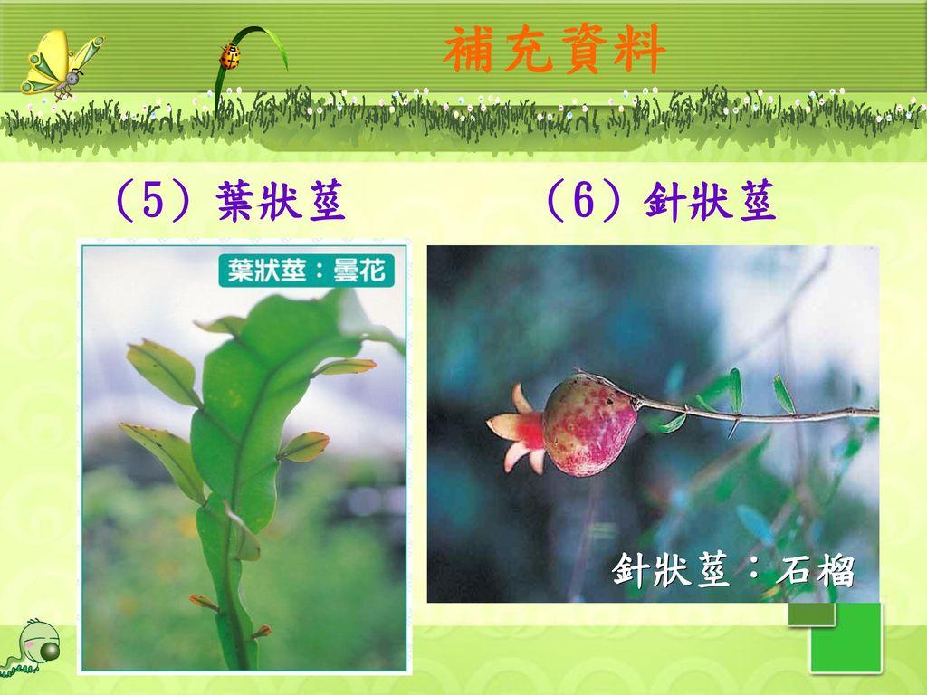 補充資料 (5)葉狀莖 (6)針狀莖 針狀莖:石榴 30