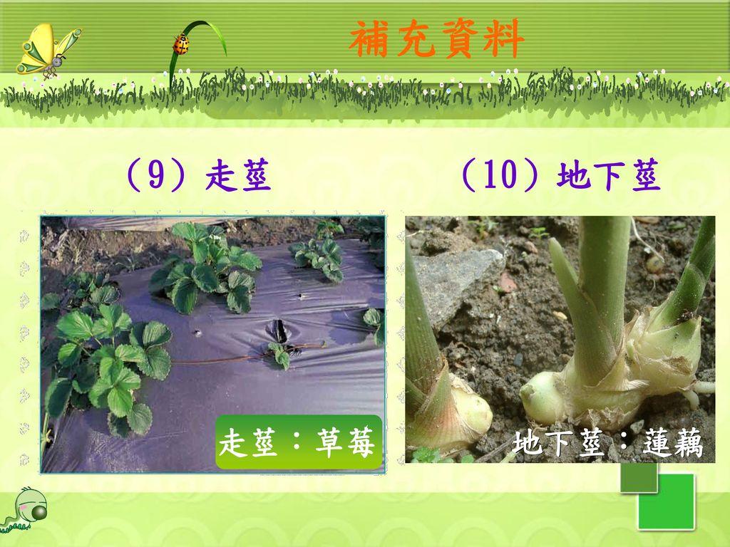 補充資料 (9)走莖 (10)地下莖 走莖:草莓 地下莖:蓮藕 32
