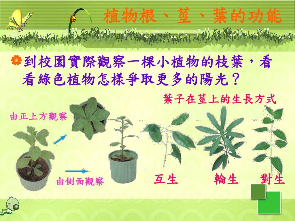 植物根、莖、葉的功能 到校園實際觀察一棵小植物的枝葉,看看綠色植物怎樣爭取更多的陽光? 互生 輪生 對生 葉子在莖上的生長方式 由正上方觀察