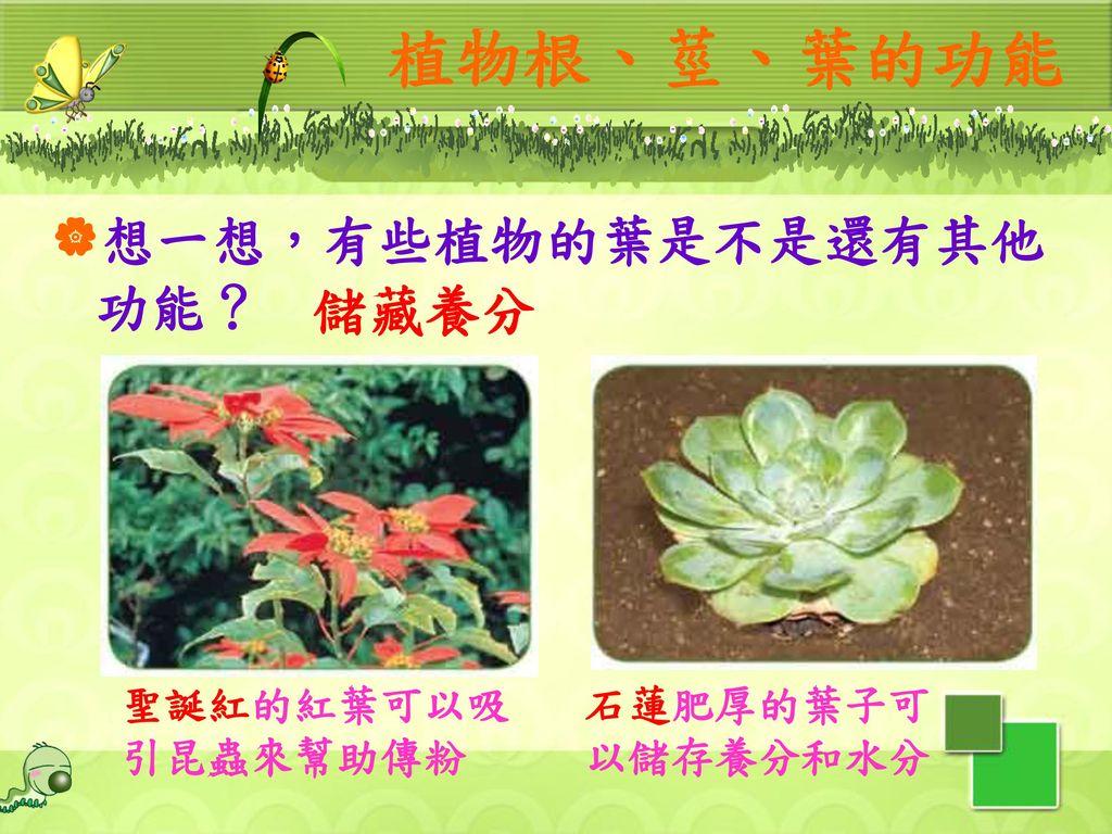 植物根、莖、葉的功能 想一想,有些植物的葉是不是還有其他功能? 儲藏養分 聖誕紅的紅葉可以吸引昆蟲來幫助傳粉