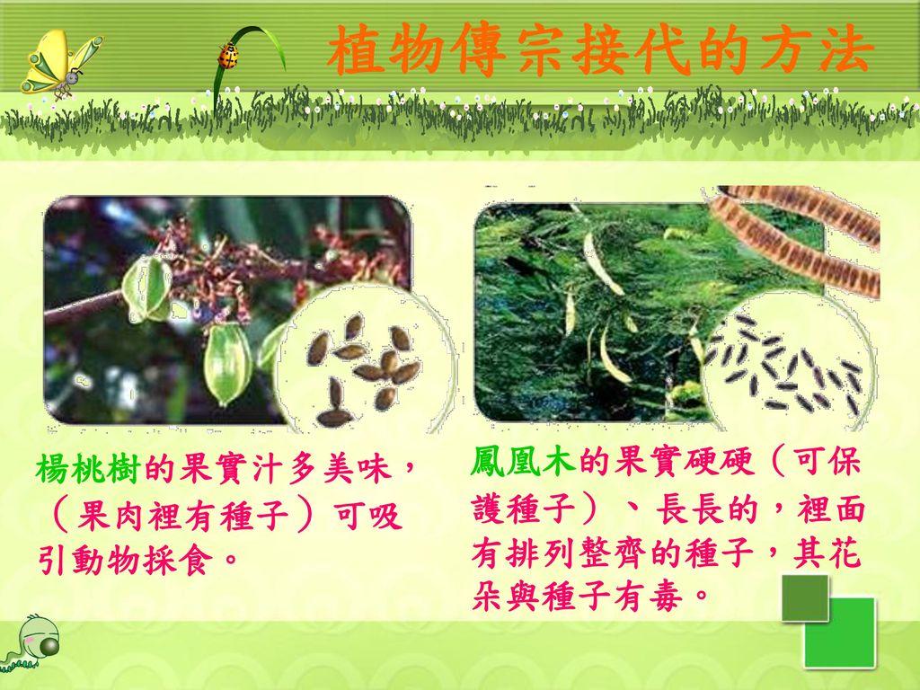 植物傳宗接代的方法 鳳凰木的果實硬硬(可保護種子)、長長的,裡面有排列整齊的種子,其花朵與種子有毒。