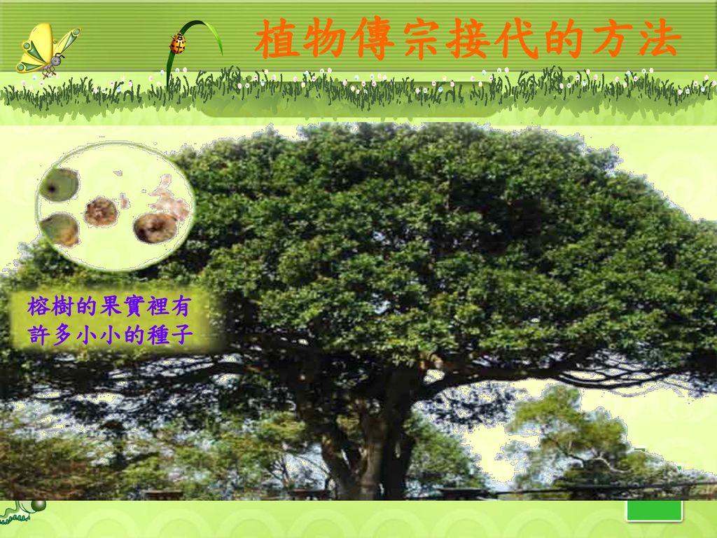 植物傳宗接代的方法 榕樹的果實裡有許多小小的種子 49
