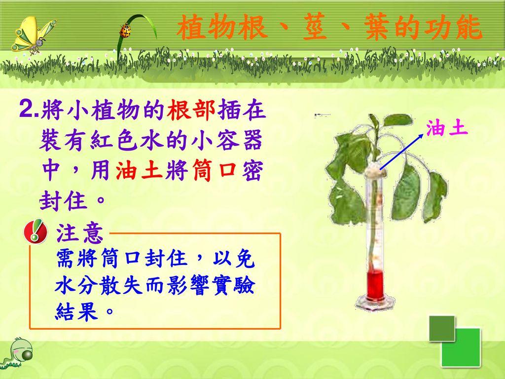 植物根、莖、葉的功能 2.將小植物的根部插在裝有紅色水的小容器中,用油土將筒口密封住。 注意 油土