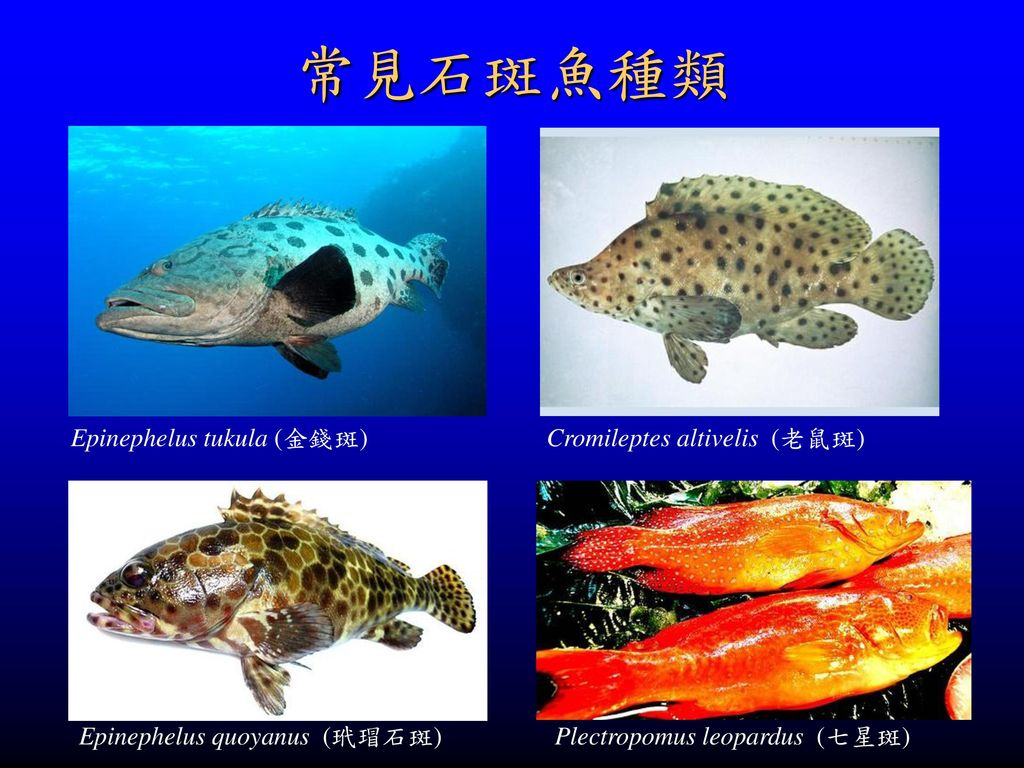 常見石斑魚種類 Epinephelus tukula (金錢斑) Cromileptes altivelis (老鼠斑)