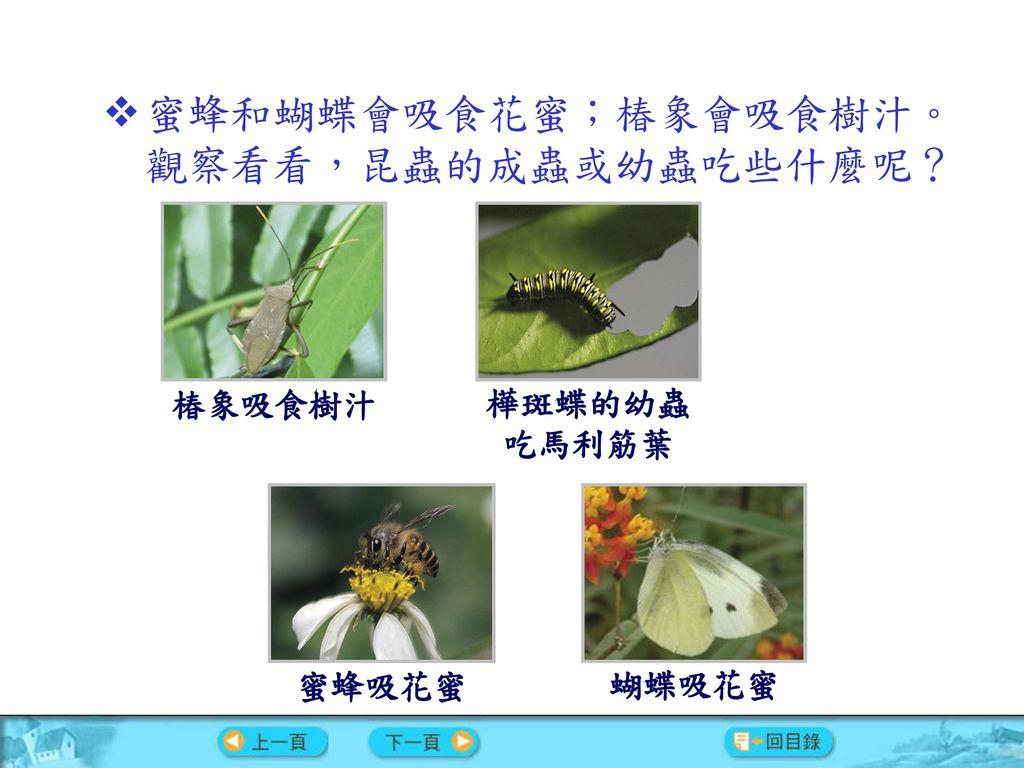 蜜蜂和蝴蝶會吸食花蜜;椿象會吸食樹汁。觀察看看,昆蟲的成蟲或幼蟲吃些什麼呢?