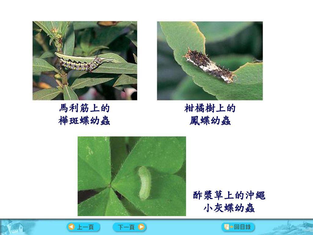 馬利筋上的樺斑蝶幼蟲 柑橘樹上的鳳蝶幼蟲 酢漿草上的沖繩 小灰蝶幼蟲