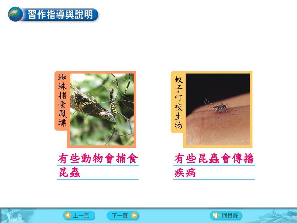 習作內容 蜘蛛捕食鳳蝶 蚊子叮咬生物 有些動物會捕食昆蟲 有些昆蟲會傳播疾病