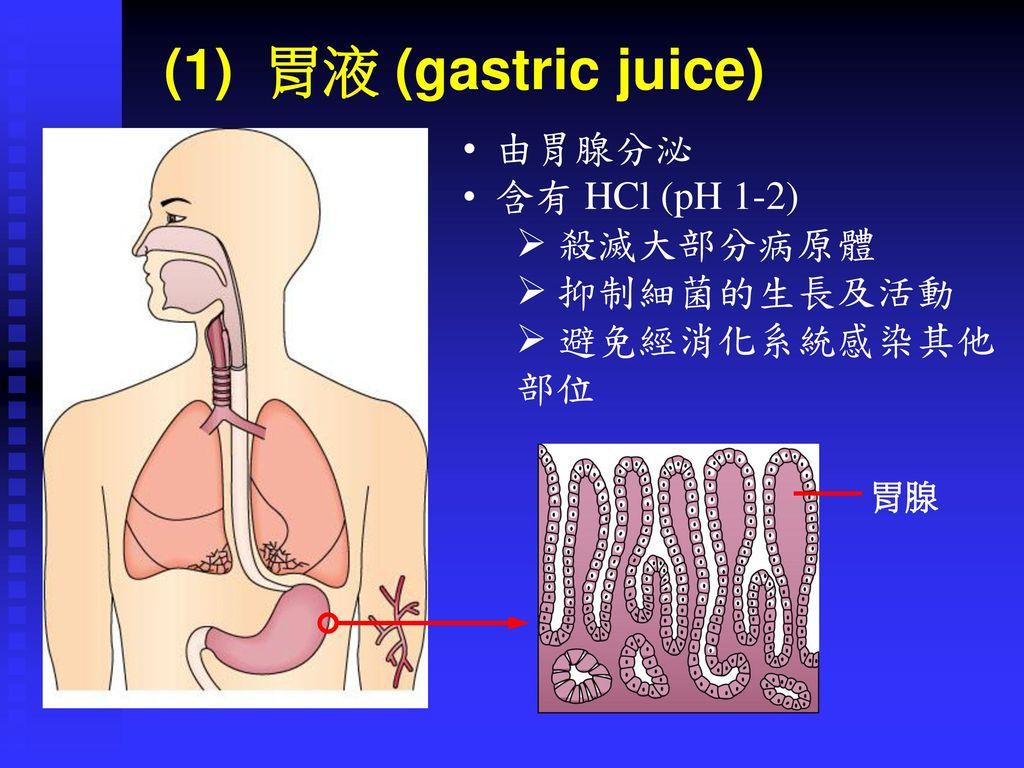 (1) 胃液 (gastric juice) 由胃腺分泌 含有 HCl (pH 1-2) 殺滅大部分病原體 抑制細菌的生長及活動