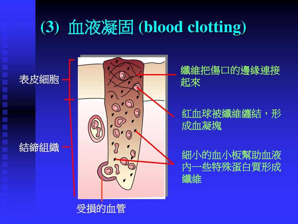(3) 血液凝固 (blood clotting)