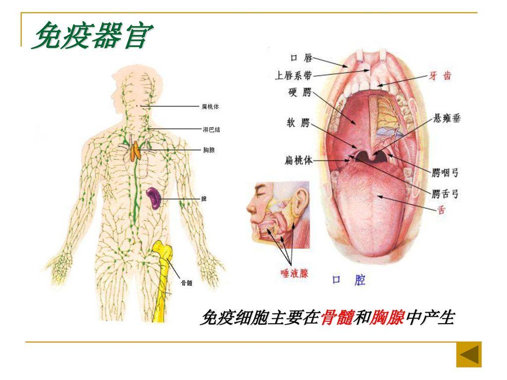 免疫器官 免疫细胞主要在骨髓和胸腺中产生