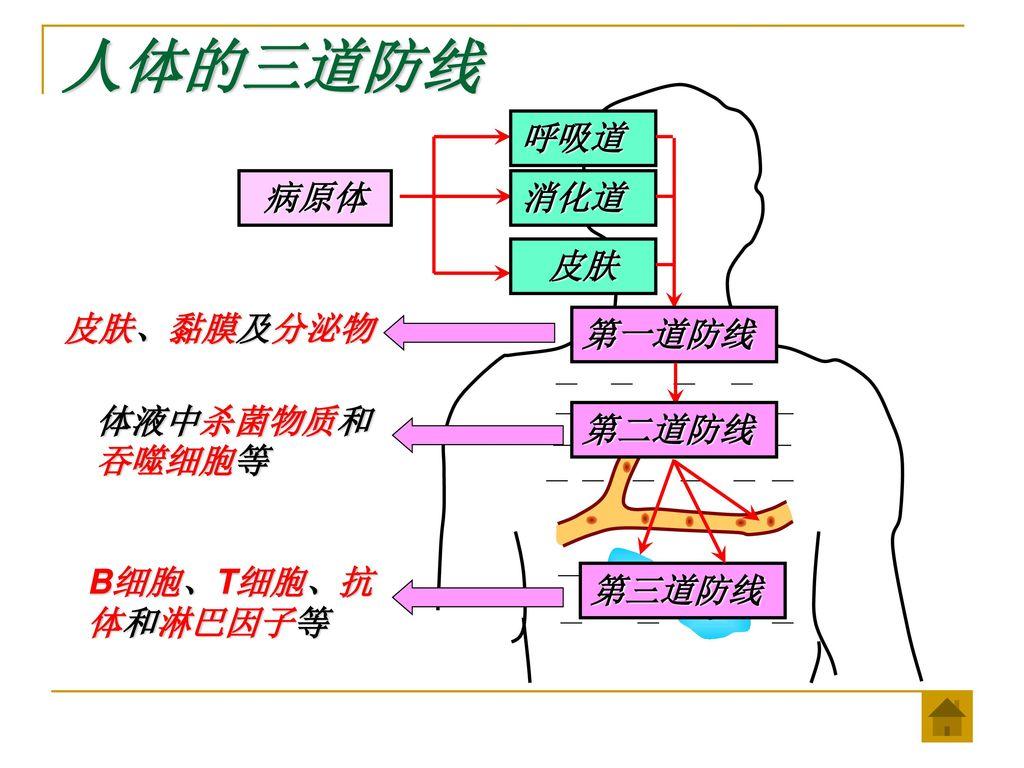 人体的三道防线 呼吸道 病原体 消化道 皮肤 皮肤、黏膜及分泌物 第一道防线 体液中杀菌物质和吞噬细胞等 第二道防线
