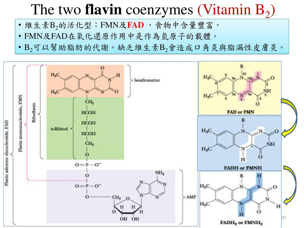 The two flavin coenzymes (Vitamin B2)