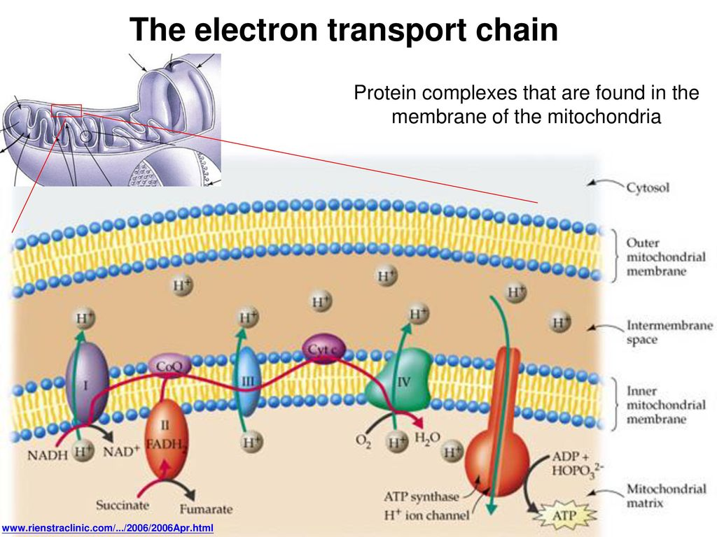 Protein complexes that are found in the membrane of the mitochondria