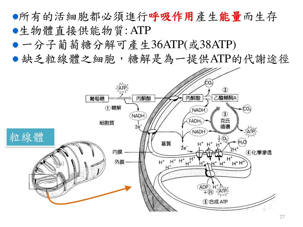 所有的活細胞都必須進行呼吸作用產生能量而生存 生物體直接供能物質: ATP 一分子葡萄糖分解可產生36ATP(或38ATP)