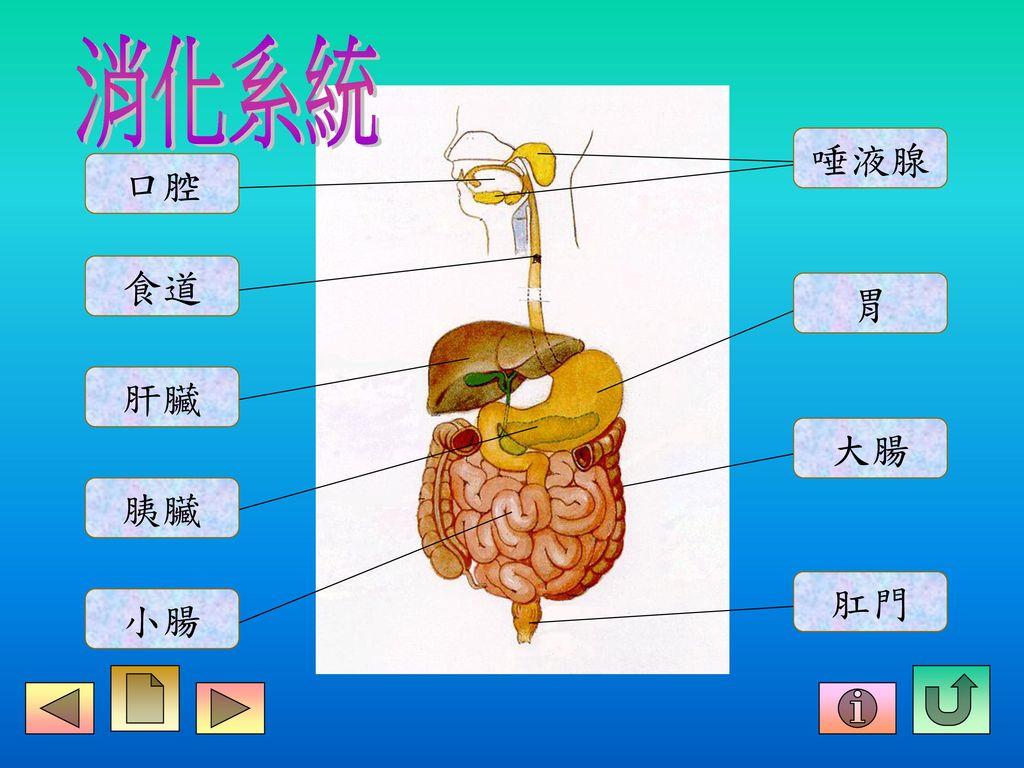 消化系統 唾液腺 口腔 食道 胃 肝臟 大腸 胰臟 肛門 小腸