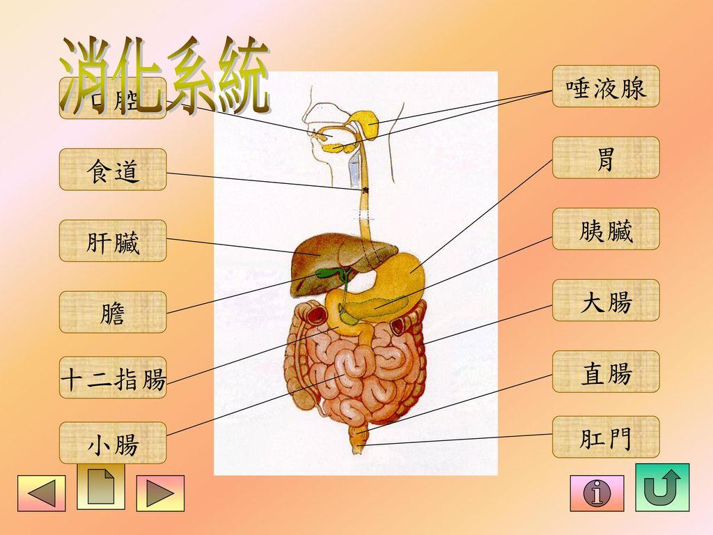 消化系統 唾液腺 口腔 胃 食道 胰臟 肝臟 大腸 膽 直腸 十二指腸 肛門 小腸
