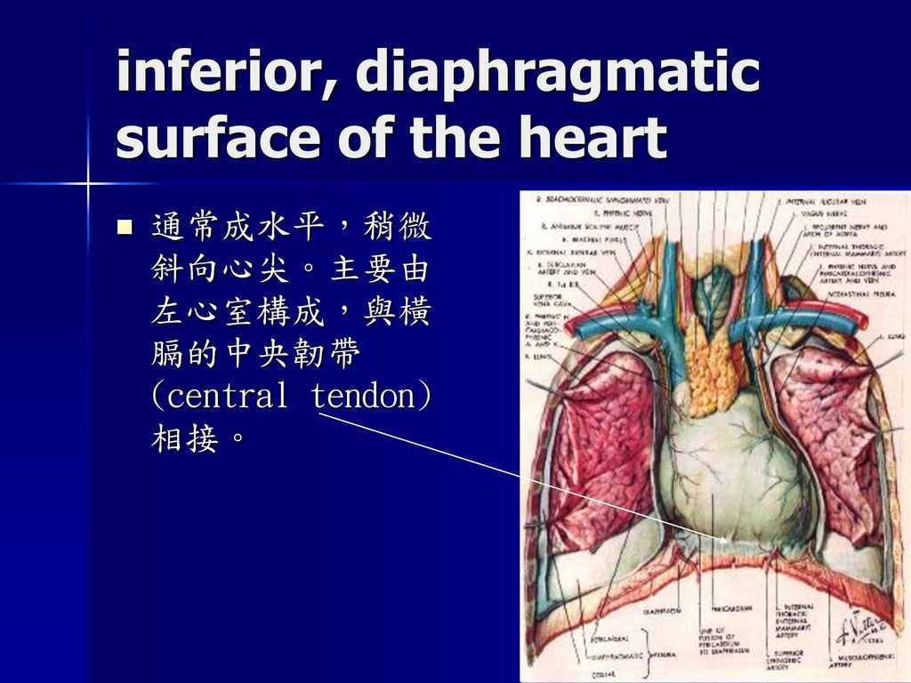 Diaphragmatic surface of heart blood supply  Diaphragmatic s...