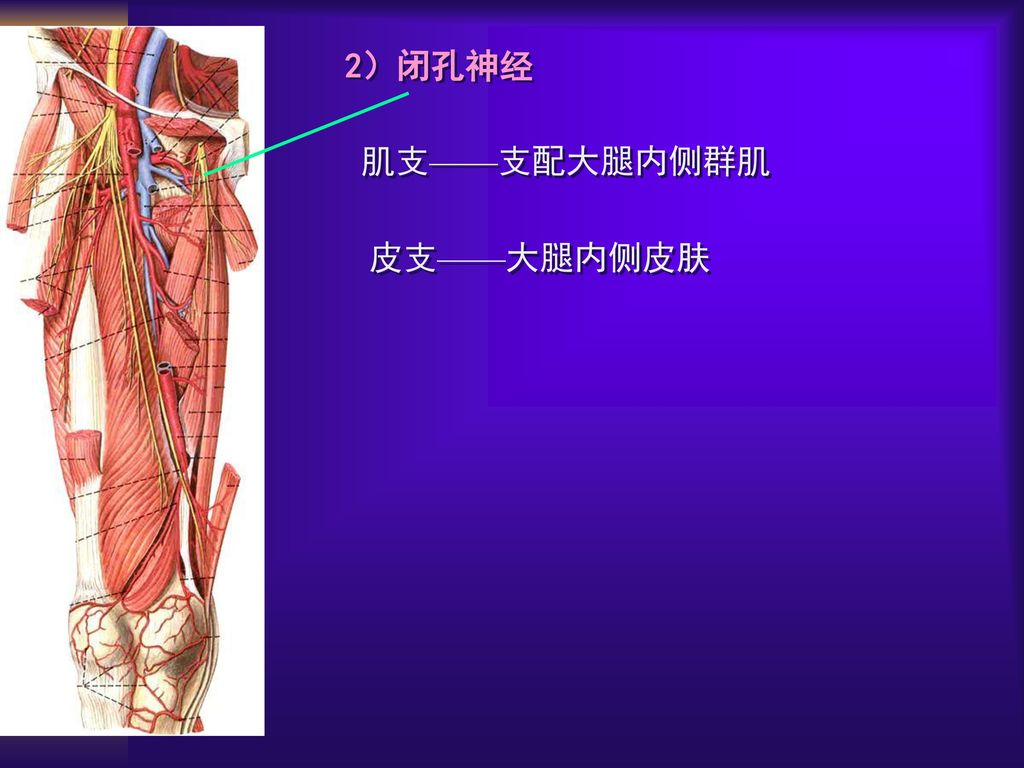 大腿神经分布图_第三节 周围神经 教学目标 1说出脊神经的构成和分支 2说出颈丛 ...