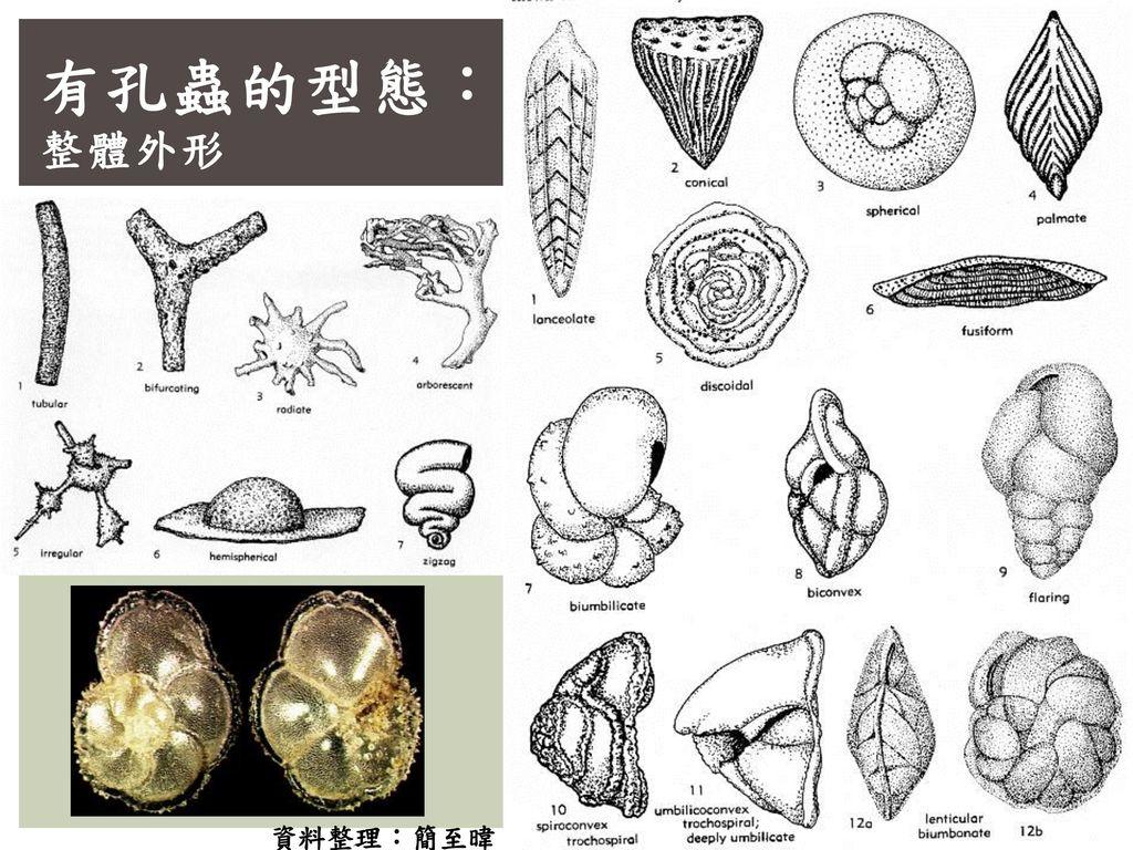 有孔蟲的型態: 整體外形 資料整理:簡至暐