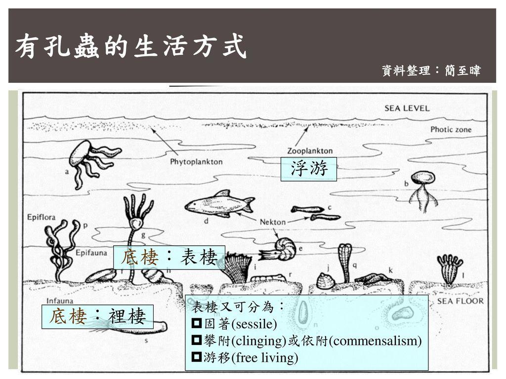 有孔蟲的生活方式 浮游 底棲:表棲 底棲:裡棲 表棲又可分為: 固著(sessile)