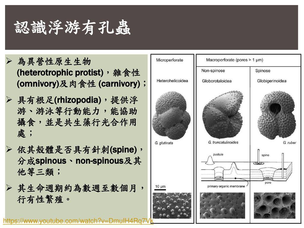 認識浮游有孔蟲 為異營性原生生物(heterotrophic protist),雜食性(omnivory)及肉食性 (carnivory);