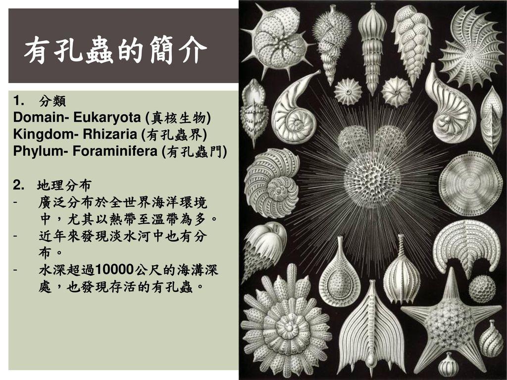 有孔蟲的簡介 分類 Domain- Eukaryota (真核生物) Kingdom- Rhizaria (有孔蟲界)