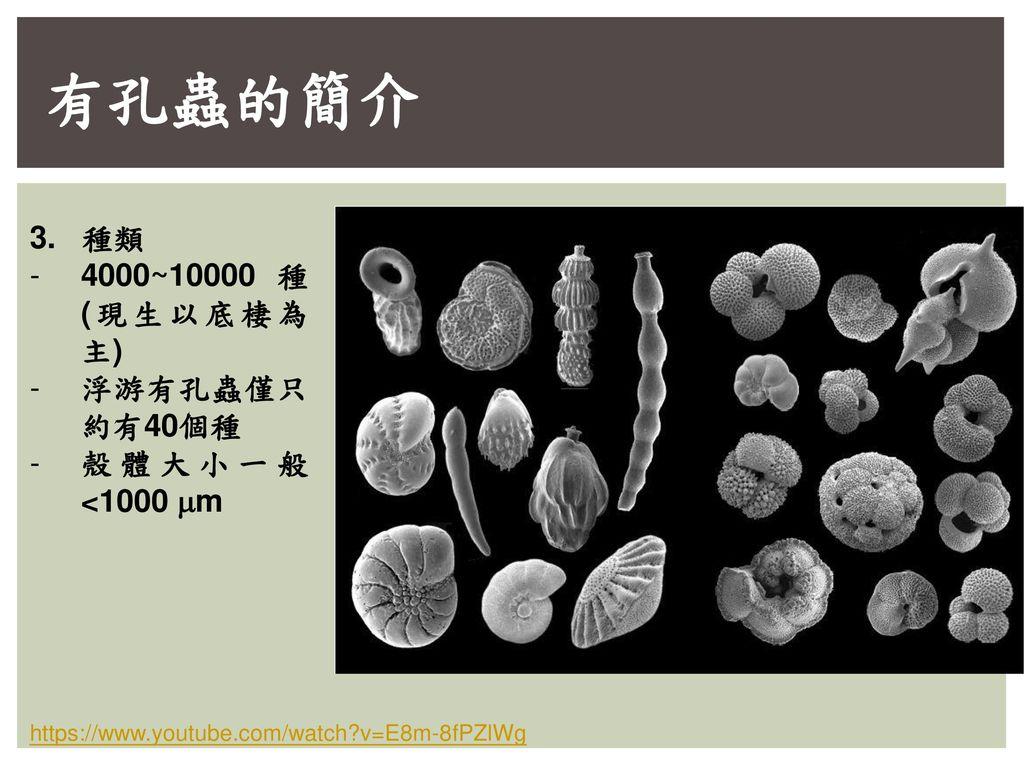 有孔蟲的簡介 3. 種類 4000~10000 種 (現生以底棲為主) 浮游有孔蟲僅只約有40個種 殼體大小一般<1000 mm