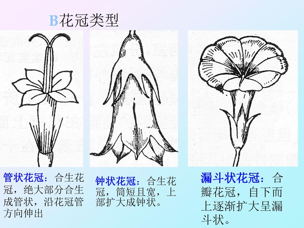 B花冠类型 漏斗状花冠:合瓣花冠,自下而上逐渐扩大呈漏斗状。 管状花冠:合生花冠,绝大部分合生成管状,沿花冠管方向伸出
