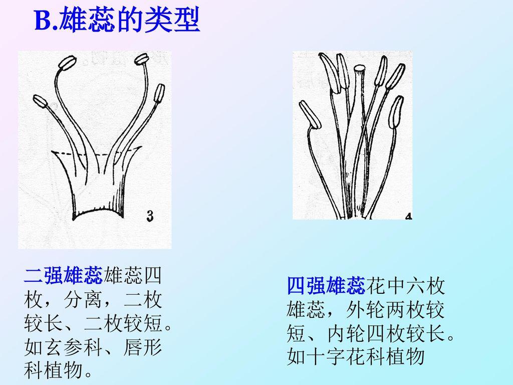 B.雄蕊的类型 二强雄蕊雄蕊四枚,分离,二枚较长、二枚较短。如玄参科、唇形科植物。