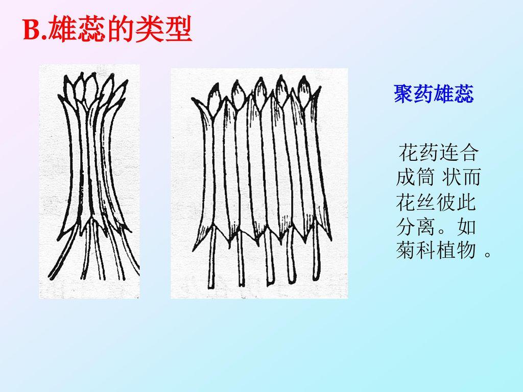 B.雄蕊的类型 聚药雄蕊 花药连合成筒 状而花丝彼此分离。如菊科植物 。