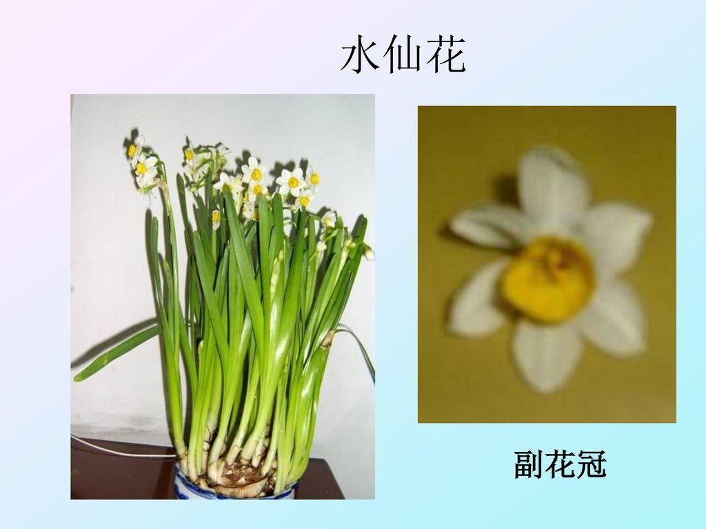 水仙花 副花冠