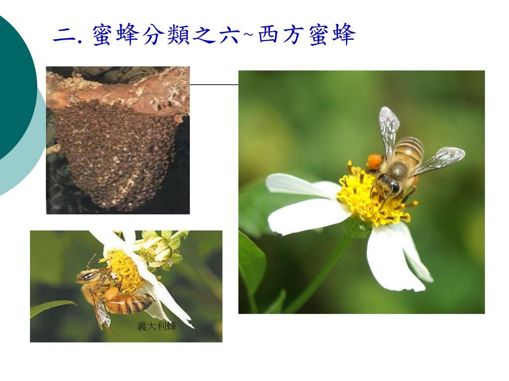 二.蜜蜂分類之六~西方蜜蜂 義大利蜂