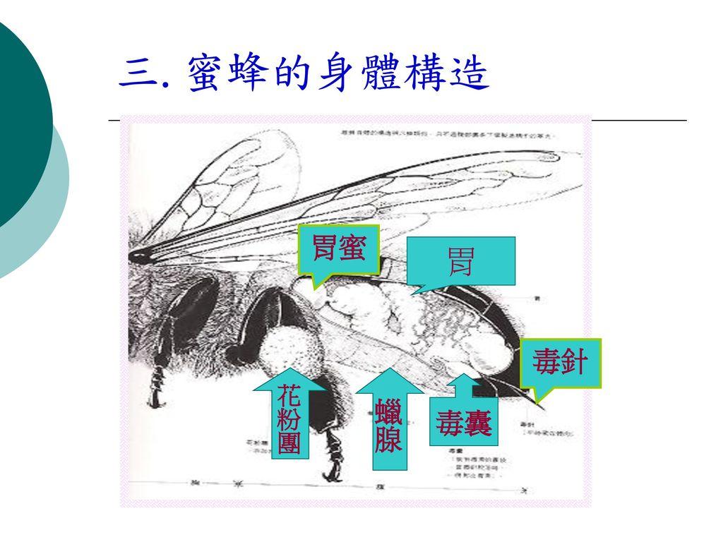 三.蜜蜂的身體構造 胃蜜 胃 毒針 花粉團 蠟腺 毒囊