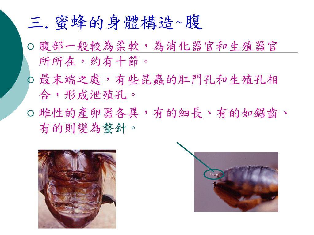 三.蜜蜂的身體構造~腹 腹部一般較為柔軟,為消化器官和生殖器官所所在,約有十節。 最末端之處,有些昆蟲的肛門孔和生殖孔相合,形成泄殖孔。