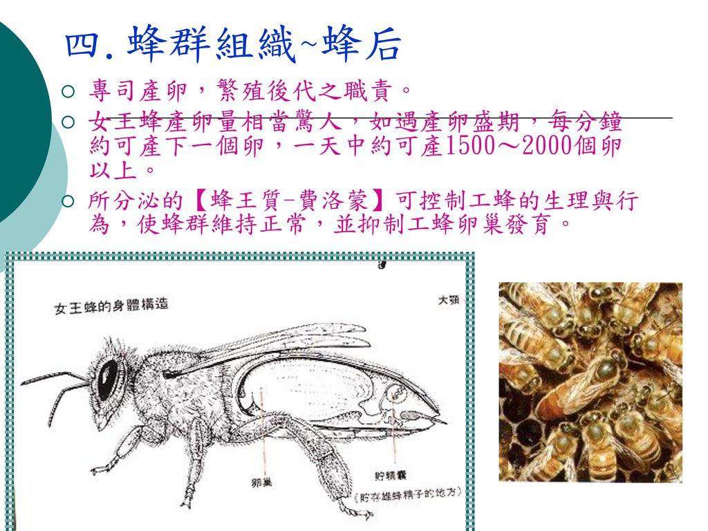 四.蜂群組織~蜂后 專司產卵,繁殖後代之職責。