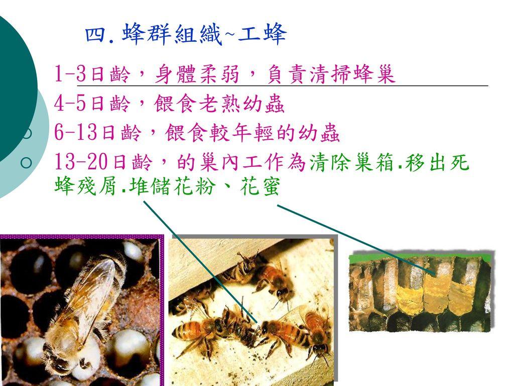 四.蜂群組織~工蜂 1-3日齡,身體柔弱,負責清掃蜂巢 4-5日齡,餵食老熟幼蟲 6-13日齡,餵食較年輕的幼蟲