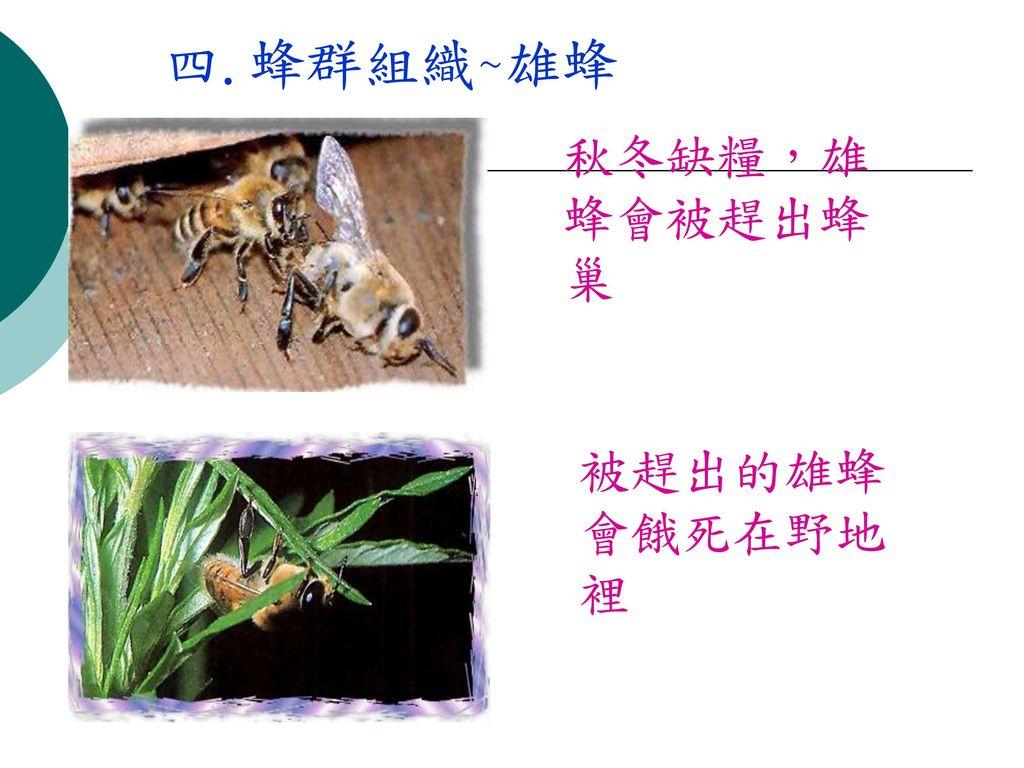 四.蜂群組織~雄蜂 秋冬缺糧,雄蜂會被趕出蜂巢 被趕出的雄蜂會餓死在野地裡