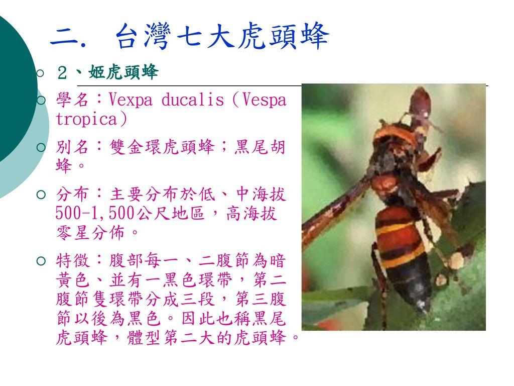 二. 台灣七大虎頭蜂 學名:Vexpa ducalis(Vespa tropica) 別名:雙金環虎頭蜂;黑尾胡蜂。