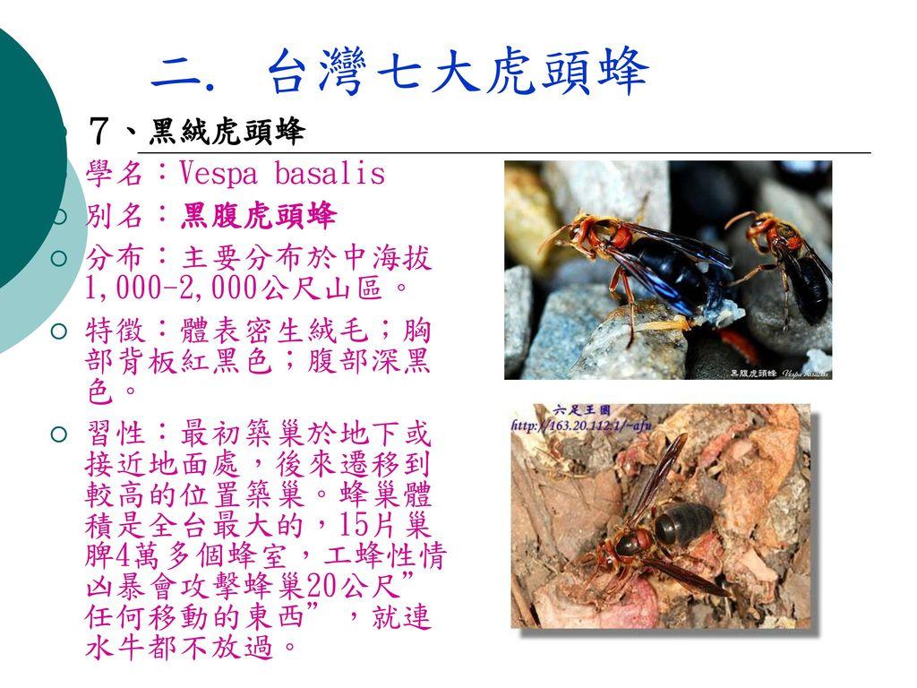 二. 台灣七大虎頭蜂 7、黑絨虎頭蜂 學名:Vespa basalis 別名:黑腹虎頭蜂